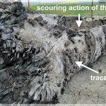 Bustean subfosil din depozitele fluviale, Tupilati Raul Moldova (NRadoane)